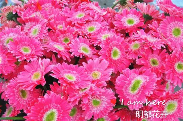 非洲菊 (10)