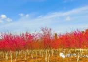 项目推荐|项目招商:四川德阳中江樱花岭景区|省市县田园综合体入库项目,寻求项目和资金合作,包括收购,控股,参股,项目合作。